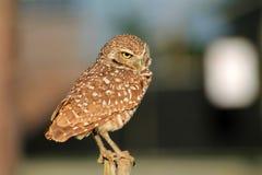 挖洞猫头鹰的Perched做面孔 免版税库存图片