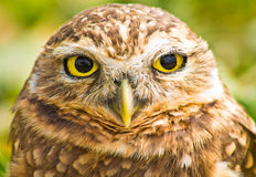 挖洞猫头鹰纵向 免版税库存照片