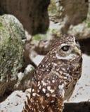 挖洞猫头鹰身分 免版税图库摄影