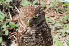 挖洞猫头鹰邪恶的神色 免版税图库摄影