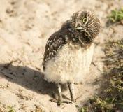 挖洞猫头鹰雏鸟 库存图片