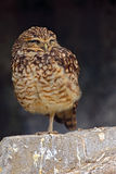 挖洞猫头鹰,雅典娜cunicularia,坐在石墙,小的鸟在自然栖所,佛罗里达,美国 图库摄影