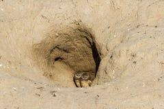 挖洞猫头鹰 免版税库存图片