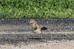 挖洞猫头鹰 库存照片