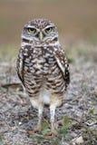 挖洞联系目光接触的猫头鹰面对直接 库存图片