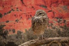 挖洞cunicularia猫头鹰的雅典娜 免版税库存图片