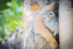 挖洞cunicularia猫头鹰的雅典娜 免版税图库摄影