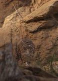 挖洞cunicularia猫头鹰的雅典娜 库存图片