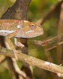 挡水板收缩的变色蜥蜴特写 库存图片