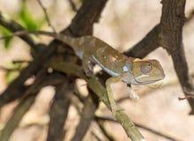 挡水板收缩的变色蜥蜴,肯尼亚非洲 库存照片