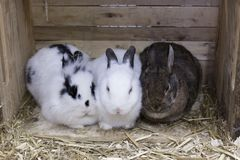 挤作一团前面观点的三只逗人喜爱的不同的色的兔子 免版税库存图片