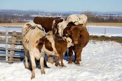挤作一团反对它的在牛中的母亲的逗人喜爱的面无血色的棕色小牛 免版税库存照片