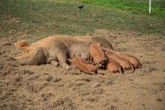 挤奶在农场的小猪 免版税库存图片