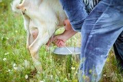 挤奶在农场的山羊 免版税库存照片