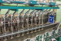 挤奶在goatfarm的机器人 免版税库存照片