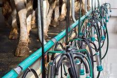 挤奶垂悬在母牛` s脚背景的设备  免版税库存图片