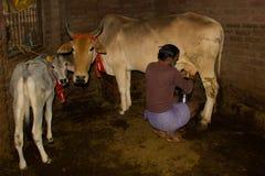 挤奶母牛 库存照片