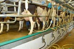 挤奶泵浦适合了对母牛在农场的乳房 免版税库存照片
