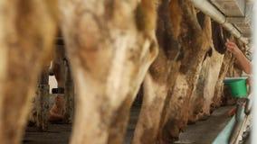 挤奶牛奶和清洗乳房的,母牛,挤奶,母牛,技术的母牛农产品的挤奶的妇女乳头 股票视频