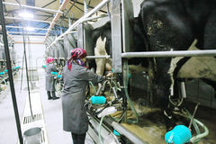 挤奶的妇女 库存图片