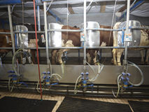 挤奶系统的农业自动母牛农厂牛奶 免版税库存图片