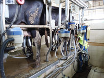 挤奶设备的母牛 免版税库存图片