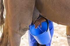挤奶骆驼的哈萨克人妇女传达turkic饮料作为shubat,在奇姆肯特,哈萨克斯坦 免版税库存照片