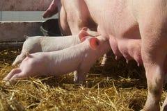 挤奶从母亲猪的逗人喜爱的婴孩小猪 免版税库存照片