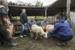 挤奶绵羊在山家庭的Brezovica 免版税库存图片