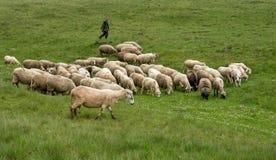 挤奶绵羊在山家庭的Brezovica 免版税图库摄影