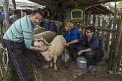 挤奶绵羊在山家庭的Brezovica 库存照片