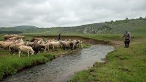 挤奶绵羊在山家庭的Brezovica 库存图片