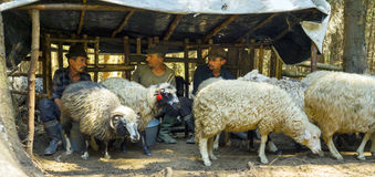 挤奶绵羊老方式 库存图片