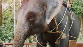 挥动他的耳朵的美丽的大象在农场 慢的行动 1920x1080 影视素材