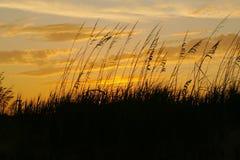 挥动在橙色日落的海燕麦 库存照片