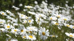 挥动在领域的风的白色春黄菊背景 股票录像