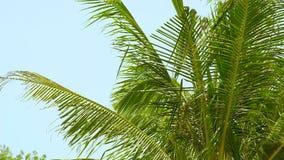 挥动在风的绿色棕榈树分支在蓝天风景的夏天海滩 在清楚的天空的绿色棕榈树 影视素材