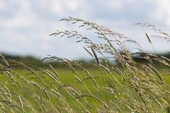 挥动在风的长的草 免版税库存图片