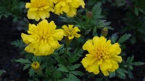 挥动在风的黄色万寿菊 Tagetes 影视素材