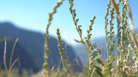 挥动在高地的风的蒿木草 影视素材