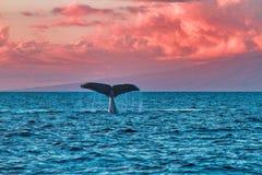 挥动它的flule的驼背鲸在鲸鱼看守人在日落靠近毛伊的拉海纳 免版税库存照片