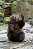 挥动爪子的滑稽的熊 免版税库存图片