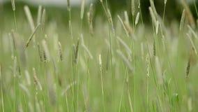 挥动由强风的绿草 股票录像