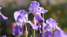 挥动由微风的紫色花 股票录像