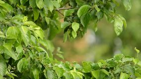 挥动由微风的绿色叶子 影视素材