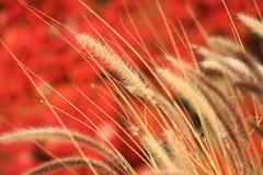 挥动的麦子风 库存图片