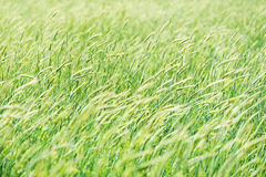 挥动风的开花的耳朵的领域 免版税库存照片