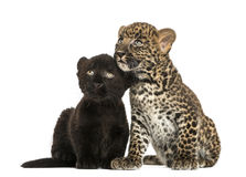 紧挨着坐黑和被察觉的豹子的崽 图库摄影