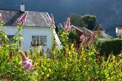 挪威国家的白色房子有Buddleja桃红色灌木的开花,并且绿色离开 晴天室外田园诗场面 图库摄影