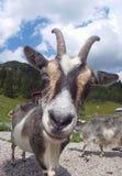 挪威山羊 图库摄影